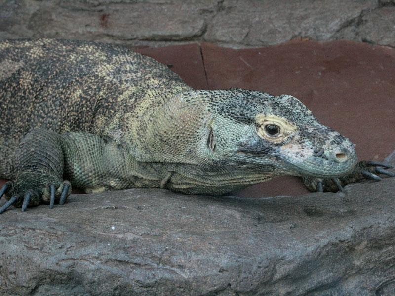 コモドオオトカゲの画像 p1_33