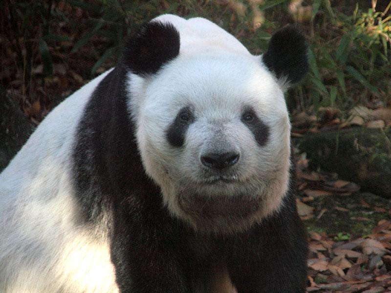 ジャイアントパンダの画像 p1_12