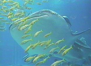 ジンベエザメの画像 p1_26