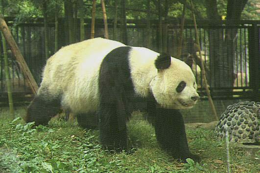 ジャイアントパンダの画像 p1_13